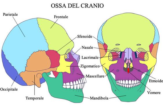 Rappresentazione delle ossa del cranio.