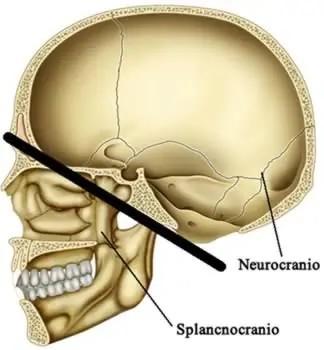 Piano di divisione del cranio in neurocranio e viscerocranio.